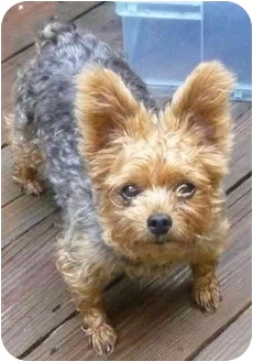 Yorkie, Yorkshire Terrier Dog for adoption in Greensboro, North Carolina - Molly