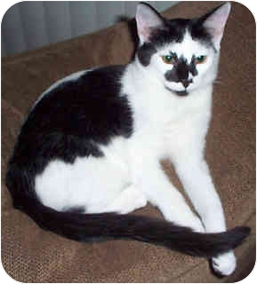 Domestic Shorthair Kitten for adoption in Tampa, Florida - Freckles
