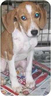 Plott Hound/Beagle Mix Puppy for adoption in Lafayette, New Jersey - Buttercup