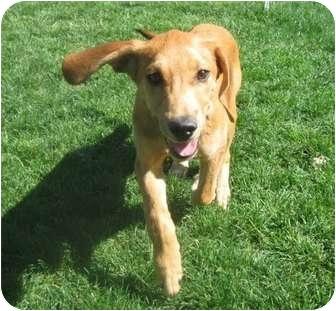 Labrador Retriever Mix Puppy for adoption in Meridian, Idaho - Butterscotch