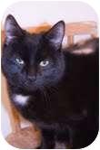 Domestic Shorthair Cat for adoption in Okotoks, Alberta - Chris