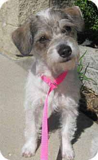 Terrier (Unknown Type, Small)/Poodle (Toy or Tea Cup) Mix Puppy for adoption in Schaumburg, Illinois - Annabelle