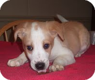Collie/Husky Mix Puppy for adoption in Portland, Maine - Gill