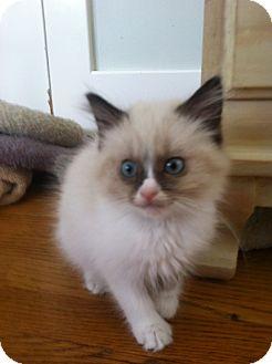 Siamese Kitten for adoption in Burbank, California - Chloe BABY SIAMESE KITTEN!
