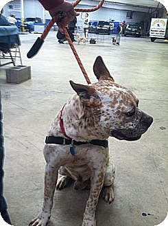 American Pit Bull Terrier/Cattle Dog Mix Dog for adoption in Blanchard, Oklahoma - Gizmo