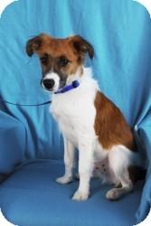 Sheltie, Shetland Sheepdog/Spaniel (Unknown Type) Mix Dog for adoption in Minneapolis, Minnesota - Fritz