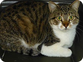 Domestic Shorthair Cat for adoption in Quail Valley, California - Bliss (feral)