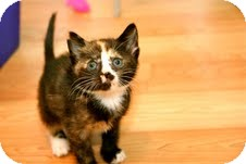 Calico Kitten for adoption in East Brunswick, New Jersey - Chiquita