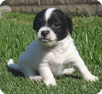 Boston Terrier/Jack Russell Terrier Mix Puppy for adoption in La Habra Heights, California - Cooper