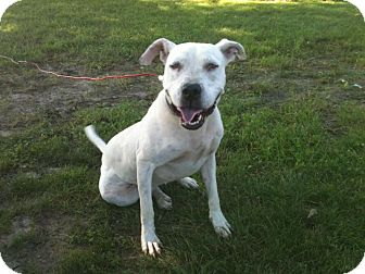 American Pit Bull Terrier Mix Dog for adoption in Linton, Indiana - Lacey