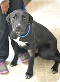 Labrador Retriever Mix Dog for adoption in Cumming, Georgia - Tex