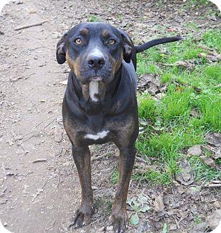 Doberman Pinscher/Labrador Retriever Mix Dog for adoption in Centerville, Tennessee - Brie