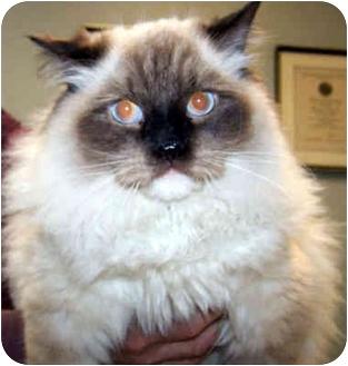 Ragdoll Cat for adoption in Ardsley, New York - Squidley