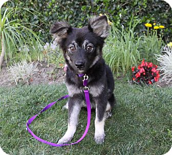 Border Collie/Shepherd (Unknown Type) Mix Puppy for adoption in Newport Beach, California - MONA