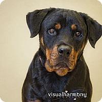 Adopt A Pet :: Layla - Phoenix, AZ
