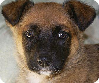 German Shepherd Dog/Labrador Retriever Mix Puppy for adoption in Spring Valley, New York - Rascal