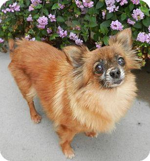 Pomeranian/Chihuahua Mix Dog for adoption in Escondido, California - Hannah