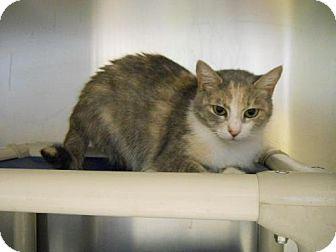 Domestic Shorthair Cat for adoption in Lewisburg, West Virginia - Scarlet