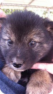 Shepherd (Unknown Type)/Collie Mix Puppy for adoption in Barnegat, New Jersey - Lara