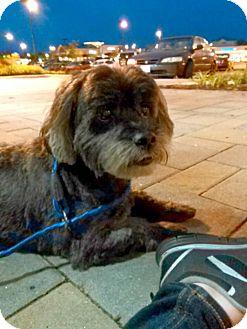 Lhasa Apso Mix Dog for adoption in Manassas, Virginia - Freddy