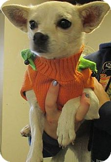 Chihuahua Mix Dog for adoption in Red Bluff, California - LILY