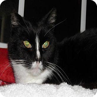 Domestic Shorthair Cat for adoption in Lisbon, Ohio - Oreo