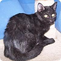 Adopt A Pet :: Siracha - Colorado Springs, CO