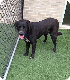 Labrador Retriever Mix Dog for adoption in McKinney, Texas - Romeo - Courtesy Listing
