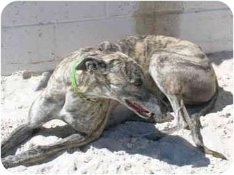 Greyhound Dog for adoption in St Petersburg, Florida - forrest