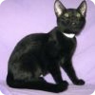 Domestic Shorthair Cat for adoption in Powell, Ohio - Amara