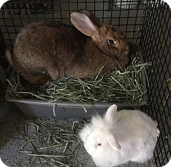 Flemish Giant for adoption in Bonita, California - Gloria & Fritz