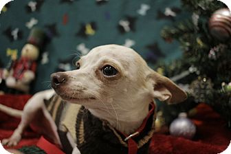 Chihuahua Mix Dog for adoption in Allentown, Pennsylvania - Miles