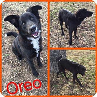 Border Collie/Great Pyrenees Mix Dog for adoption in Alvarado, Texas - Oreo