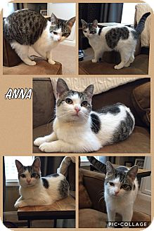 Domestic Shorthair Kitten for adoption in Cincinnati, Ohio - Anna
