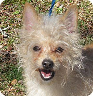Cairn Terrier/Yorkie, Yorkshire Terrier Mix Dog for adoption in Harrisonburg, Virginia - Brady