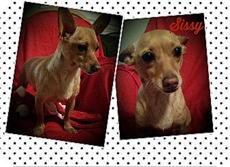Chihuahua/Dachshund Mix Dog for adoption in Hamilton, Ontario - Sissy