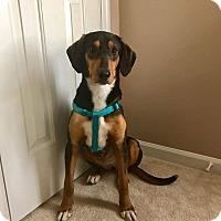 Plott Hound/Hound (Unknown Type) Mix Dog for adoption in Staunton, Virginia - Michele
