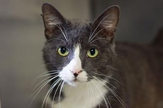 Domestic Shorthair/Domestic Shorthair Mix Cat for adoption in Kyle, Texas - JESSE