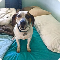 Beagle/Australian Cattle Dog Mix Dog for adoption in Columbia, Tennessee - Spock (AKA Biscuit)
