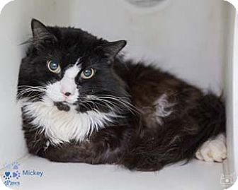 Norwegian Forest Cat Cat for adoption in Merrifield, Virginia - Mickey