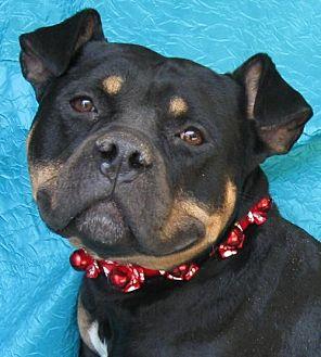 English Bulldog/Pit Bull Terrier Mix Dog for adoption in Cuba, New York - Milo