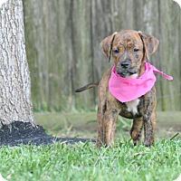 Adopt A Pet :: Bryn - Manchester, VT
