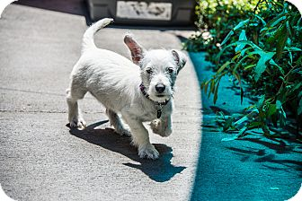 Terrier (Unknown Type, Small) Mix Puppy for adoption in Santa Rosa, California - Rodolfo