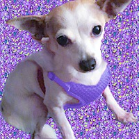 Chihuahua Mix Dog for adoption in Sacramento, California - Miss Piggy needs her mommie