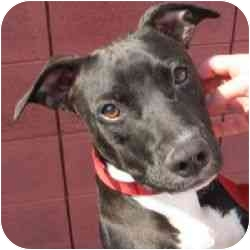 Whippet/American Pit Bull Terrier Mix Dog for adoption in Berkeley, California - Katie