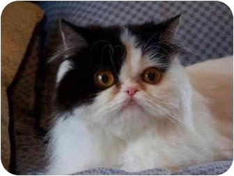 Persian Cat for adoption in Brighton, Michigan - Tootsie
