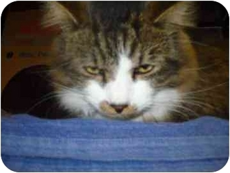 Domestic Longhair Cat for adoption in Barrie, Ontario - Fizzy