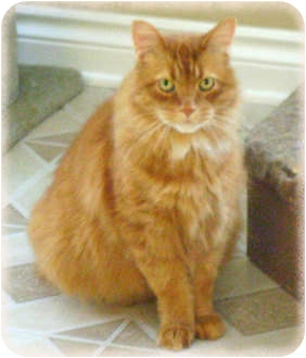 Domestic Longhair Cat for adoption in Howell, Michigan - Hunter