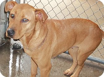 Labrador Retriever Mix Dog for adoption in Henderson, North Carolina - Brownie