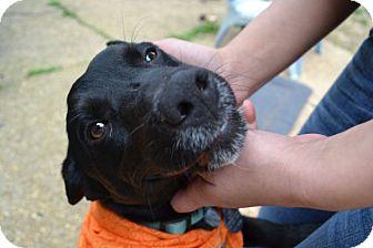 Labrador Retriever/Terrier (Unknown Type, Medium) Mix Puppy for adoption in Nashville, Tennessee - Aiden